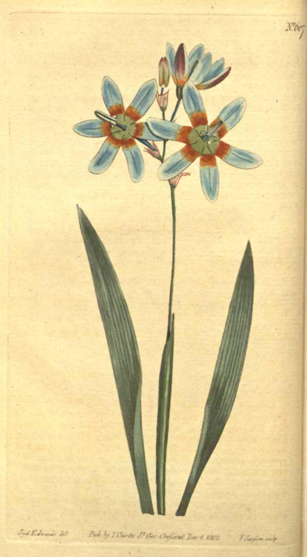 Curtis's botanical magazine ; illustration of Ixia Mondelpha flower.